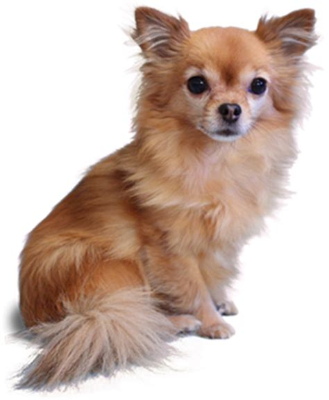 Home Decor Deals Online Chihuahua Png Photo By 89c84c91a Photobucket