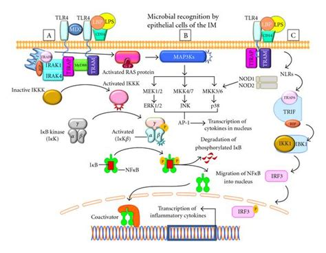 activation of plant pattern recognition receptors by bacteria molecular modulation of intestinal epithelial barrier