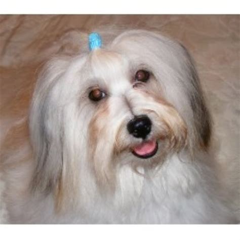 havanese puppies kansas bedlem havanese havanese breeder in linwood kansas listing id 16429