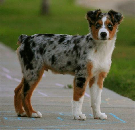 aussie breed miniature australian shepherd mini aussie breeder autos post