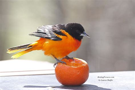 baltimore orioles come to oranges sometimes birding