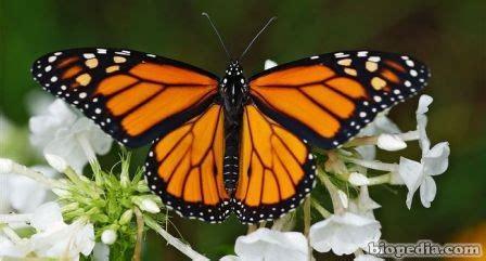 imagenes de mariposas national geographic mariposa monarca danaus plexippus biopedia