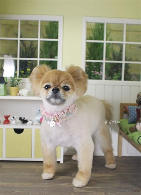 Pomeranian Shedding by Korean Grooming Style Pomeranian Grooming