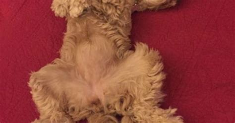 goldendoodle puppy wont stop biting 17 things all doodle parents for sure lol
