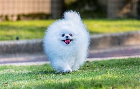 Kawaii Fluffy Dogs Iphone Dan Semua Hp wallpaper white muzzle pomeranian images for desktop section