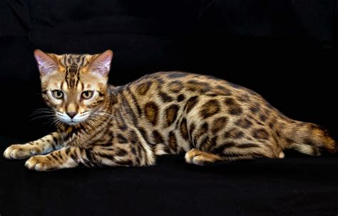 how to your to like cats leopard cat hd wallpapers