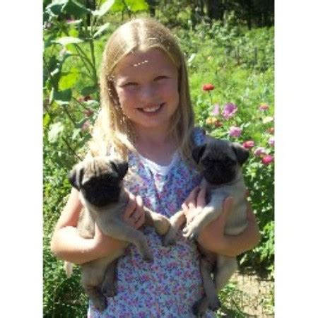 free pugs in michigan whispering pines pets pug breeder in fremont michigan