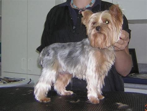 haircut for morkies 17 best images about yorkie on pinterest yorkie puppys