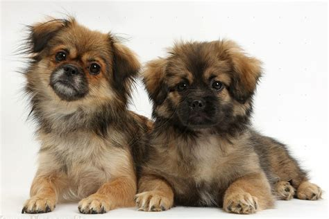 tibetan spaniel puppies sale pin tibetan spaniels on