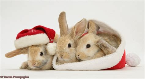 images of christmas rabbits http www warrenphotographic co uk photography bigs 20030