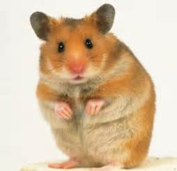 Hamster section bradford premier small animal show