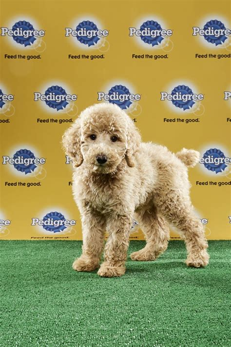 puppy bowl 2017 adoption orlando rescue puppies to play in animal planet s puppy bowl xiii blogs