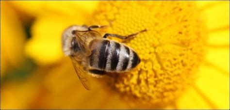 The Other Uk Version Bee Us Version cbbc newsround 10 amazzzzzing facts about bees