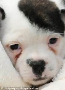 cross between bulldog and shih tzu heel patch the puppy is a dead ringer for the fuhrer but his owner insists