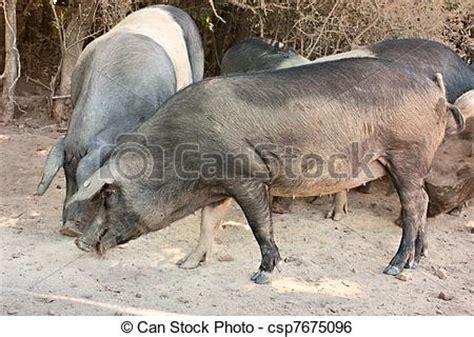 Gado Gado Cinta banco de imagem italiano ra 231 a porcos banco de
