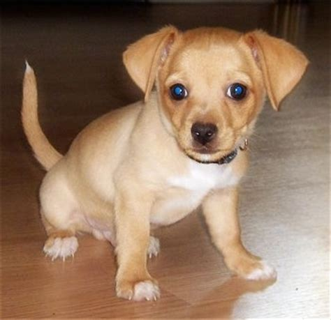 how many puppies does a chihuahua taco terrier breed pictures 1