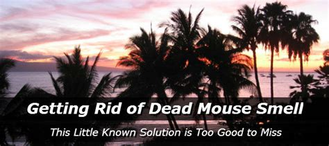 dead rat smell getting rid of dead mouse smell how to get rid of mice