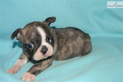 boston terrier puppies craigslist boston terrier on kansas city craigslist picture breeds picture