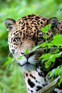 Jaguar Africa 456 Best Cats Images On Animals Animals