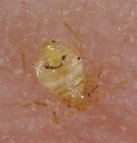 Bed Bugs What To Look For by How Bed Bugs Look Like