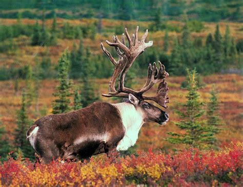 urial wallpapers animals town moose wallpaper animals town