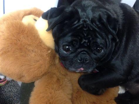 pug rescue south florida pug update compassionate pug rescue