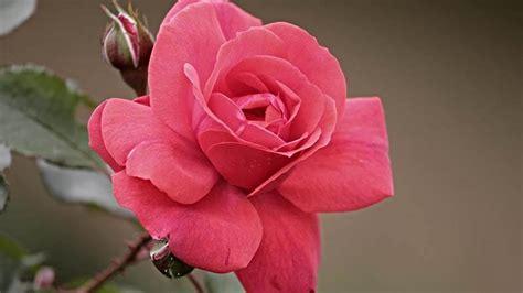 seluk beluk informasi tentang bunga mawar kepogaul