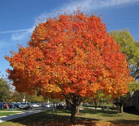 maple tree 5 most popular trees to brighten your landscape