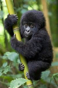 amazon black friday pets pics photos adorable baby gorilla cute