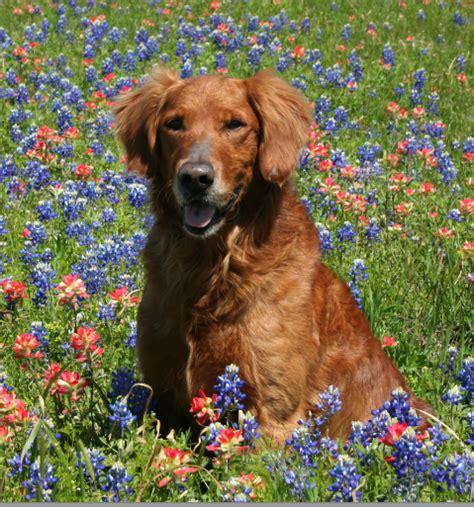 top brass golden retrievers thunderstruck retrievers golden retriever puppies in minnesota golden retriever