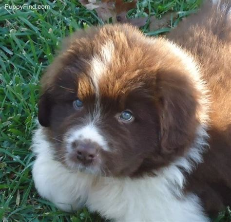 brown newfoundland puppies brown n white newfoundland puppy check out my