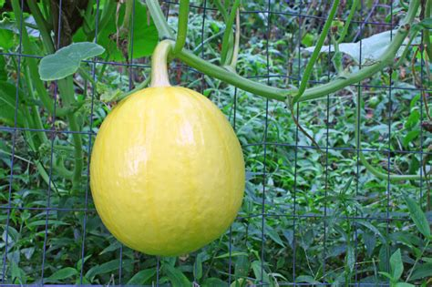 Trellis Menu Vegetable Crops For Vertical Gardening Harvest To Table