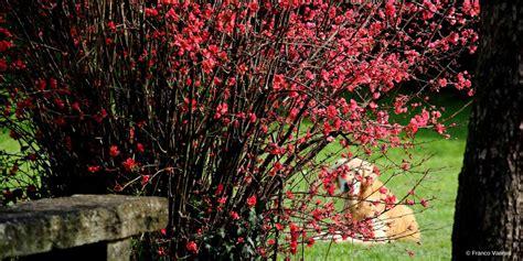 Taille Cognassier Du Japon by Cognassier Du Japon Chaenomeles Plantation Taille Et