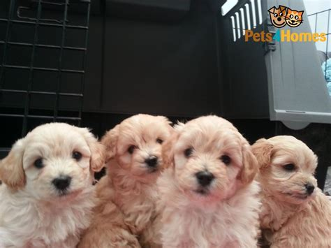 pooton puppies cotonpoo pooton grimsby lincolnshire pets4homes