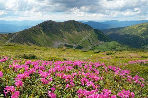 fiori di rododendro fiori di rododendro rosa in montagna foto stock