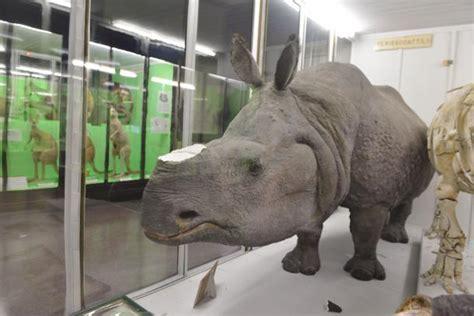 ladari di plastica rubano corno di rinoceronte ma 232 di plastica e fatto da