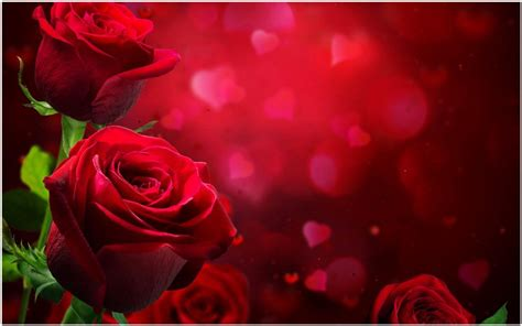 love rose flowers flower hd wallpapers images pictures beautiful roses love wallpaper beautiful love rose hd