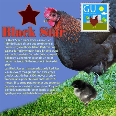 imagenes gallinas negras razas de gallinas