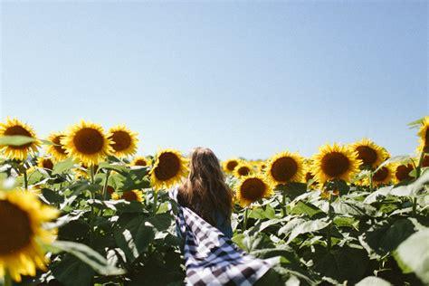 sunflower fields forever kansas city photographer sunflower field lawrence ks grinter s farm ali happer