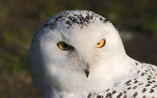 snowy barn owl i am the of ra the endless forest