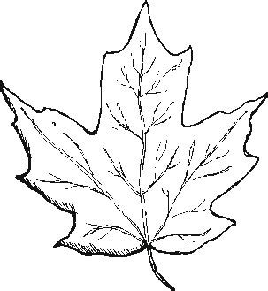 coloring page maple leaf maple leaf coloring page image search results