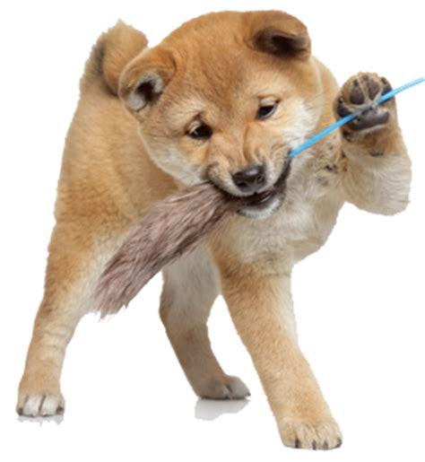 Shiba Inu Also Search For How Much Do Shiba Inu Puppies Cost My Shiba Inu