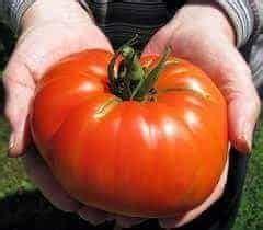 Benih Biji Bibit Seed Tomat Yellow Pear bibit tanaman buah impor bibit