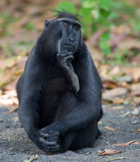 black monkey black monkey