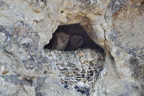 When Do Barn Owls Nest barn owls