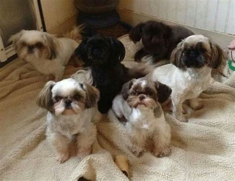 bayview shih tzu 1000 images about shin tzu on lhasa shih tzus and high quality wallpapers