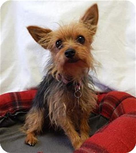 yorkie rescue oregon adopted the dalles or yorkie terrier mix