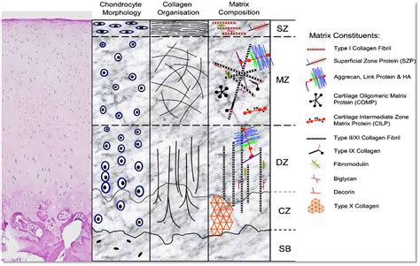 cartilage diagram frontiers 3d bioprinting of cartilage for orthopedic
