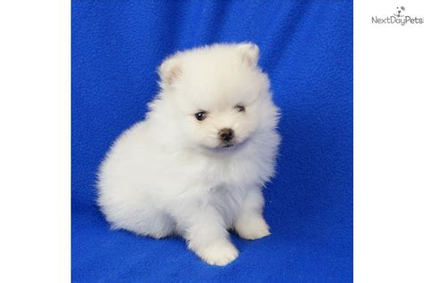 pomeranian puppies for sale missouri pomeranian puppy for sale near springfield missouri d48f1743 78b1