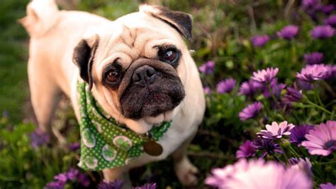 cutest pug pug wallpapers wallpaper cave